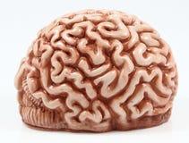 Modell eines Gehirns Stockbild