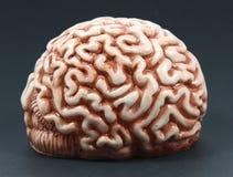 Modell eines Gehirns Lizenzfreie Stockbilder