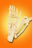 Modell eines menschlichen Fußes, mit allen Zehenknochen, dem Knöchel und t Lizenzfreie Stockfotos