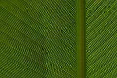 modell för 2 leaf royaltyfria foton