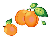 modell för aprikoseps-mapp Fotografering för Bildbyråer