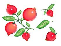modell för cranberrieseps-mapp Royaltyfri Bild