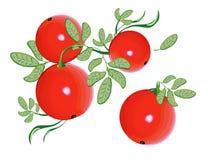 modell för cranberryeps-mapp Royaltyfria Bilder