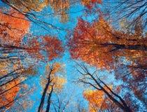 Modell för höstskogträd Se upp den blåa himlen Backgroun Arkivbilder
