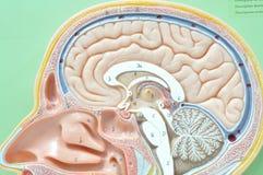 Modell för mänsklig hjärna Arkivfoto
