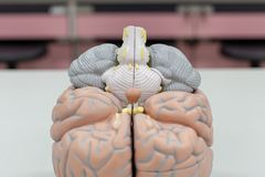 Modell för mänsklig hjärna för utbildning arkivbilder
