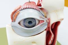 Modell för mänskligt öga royaltyfri bild