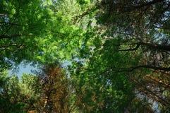 Modell för sidor för skog för sommar för kronaträdhimmel blandad Arkivfoto