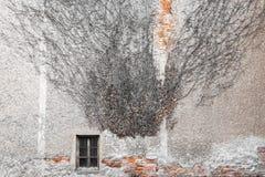Modell för textur för fönster för vägg för tegelstenar för klättringmurgrönaväxt stads- Royaltyfria Foton