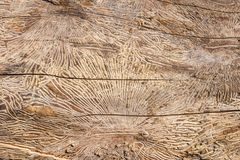 Modell på journal för trädstam efter skada som orsakas av skällskalbaggen tränaturlig textur för bakgrund arkivfoton