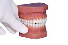 Modell von Zähnen, lokalisiert auf Weiß lizenzfreies stockfoto