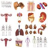 17 Modelle von Organen Lizenzfreies Stockfoto