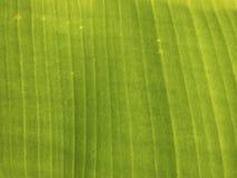 Modellen av banansidor, naturlig tapet, grön bakgrund royaltyfri foto