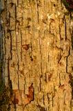Modellen av trädskället Bakgrund Härligt texturera Royaltyfri Fotografi