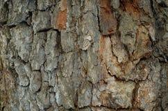 Modellen av trädskället Bakgrund Härligt texturera Royaltyfri Bild