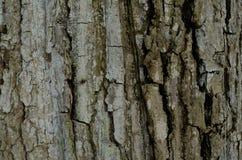 Modellen av trädskället Bakgrund Härligt texturera Arkivfoton
