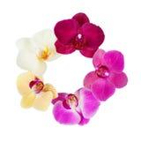 Modellen med orkidér blommar på vit bakgrund Fotografering för Bildbyråer