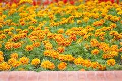 Modeller av blomma för franska ringblommor för blommor för natur färgrikt dekorativt i trädgård och balkong på bakgrund arkivbilder