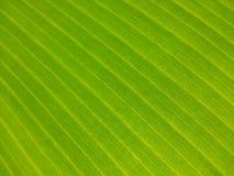 Modeller för naturbananpapper av Sri Lanka Arkivfoton