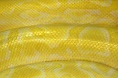 modeller och hud av den guld- Reticulated pytonormen eller boaen arkivfoto