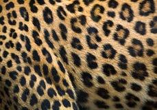 Modeller och texturer av leoparden fotografering för bildbyråer
