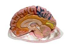Modellera av en hjärna Arkivfoton