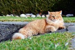 Modellera ljust rödbrun katter Arkivfoton