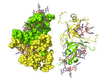 Proteina di SSB Fotografia Stock Libera da Diritti