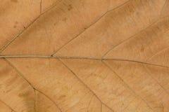 Modelli di Venation della foglia asciutta Fotografia Stock