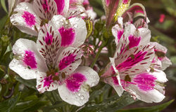 Modelli variopinti e dettaglio di struttura dei fiori di Alstromeria Immagini Stock