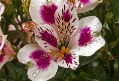 Modelli variopinti e dettaglio di struttura del fiore di Alstromeria Fotografie Stock Libere da Diritti