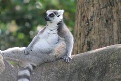 Modellistica delle lemure Fotografia Stock Libera da Diritti