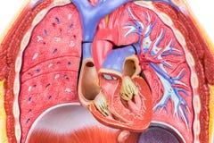 Modellmänniskokropp med lungor och hjärta Royaltyfria Bilder