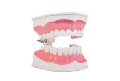 Modello anatomico dei denti umani bianchi sani odontoiatria fotografia stock libera da diritti