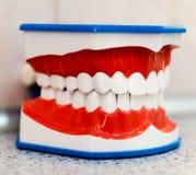 Modello anatomico della mandibola Fotografia Stock Libera da Diritti