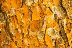 Modello astratto variopinto della corteccia di albero antica dell'eucalyptus in naturale, in fantastico della strutturata di mult immagini stock
