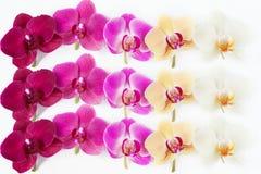 Modello con i fiori delle orchidee su bianco Fotografie Stock Libere da Diritti
