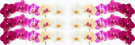 Modello con i fiori delle orchidee su bianco Immagini Stock