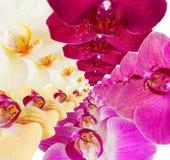 Modello con i fiori delle orchidee su fondo bianco Immagine Stock Libera da Diritti
