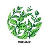 Modello con i rami del tè verde nel cerchio Disegno di vettore Fotografie Stock