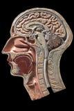 Modello d'annata di anatomia della testa umana Fotografie Stock Libere da Diritti