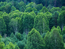 Modello degli strati degli alberi forestali, sempreverdi nelle montagne Fotografia Stock