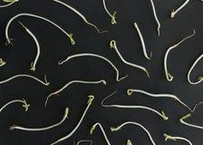 Modello dei germi di soia della soia Fotografia Stock Libera da Diritti