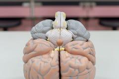 Modello del cervello umano per istruzione immagini stock