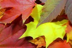 Modello del fondo di autunno, foglie di acero Fotografie Stock Libere da Diritti