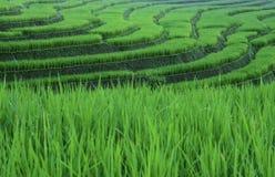 Modello del riso Fotografia Stock