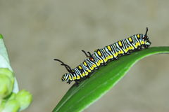 Modello del verme Fotografie Stock