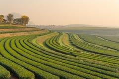 Modello dell'azienda agricola del tè verde di mattina Fotografia Stock