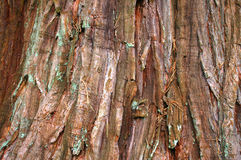 Modello della corteccia della sequoia gigante Fotografie Stock