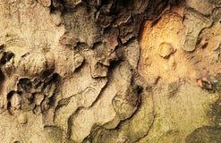 Modello della corteccia di albero fotografia stock
